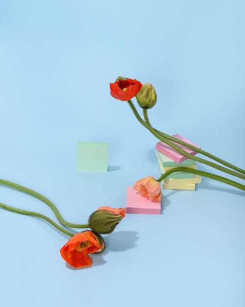 Photo of Poppy Flower on Light Blue Background
