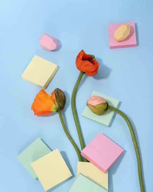 Photo of Orange and Pink Poppy Flowers on Light Blue Background