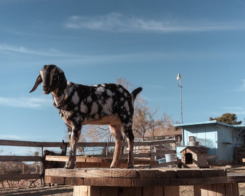 Free stock photo of animal rescue, animal sanctuary, goat
