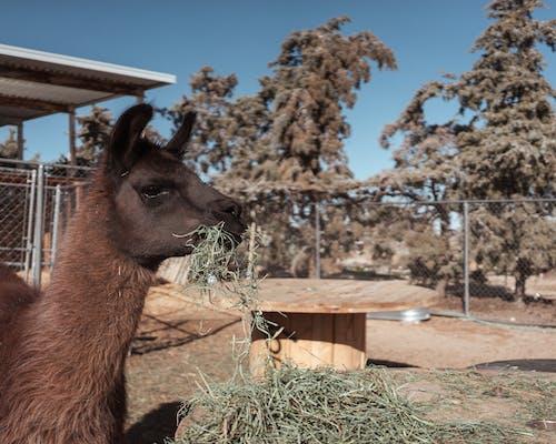 Free stock photo of alpaca, animal rescue, animal sanctuary