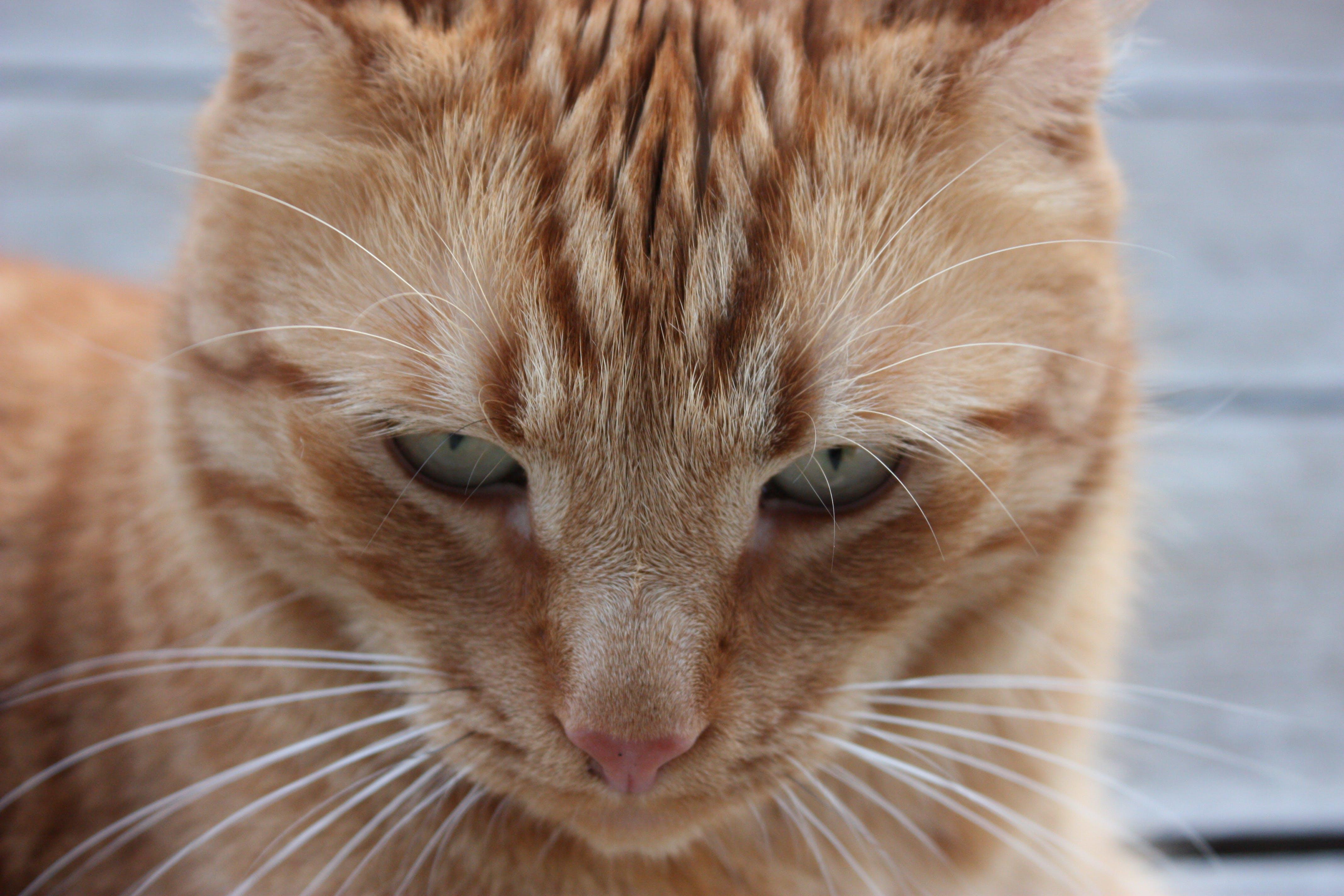 Free stock photo of cat, cat face, orange, orange cat