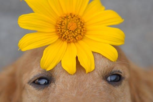 Free stock photo of golden retriever, sun flower