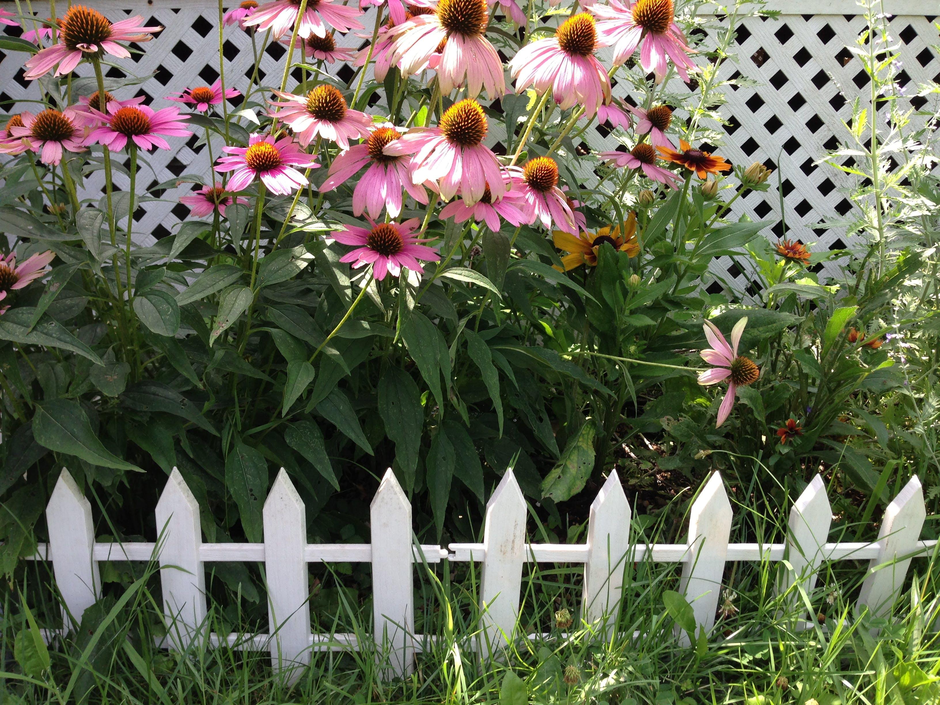 Free stock photo of echinacea, fence, flower garden, perennial