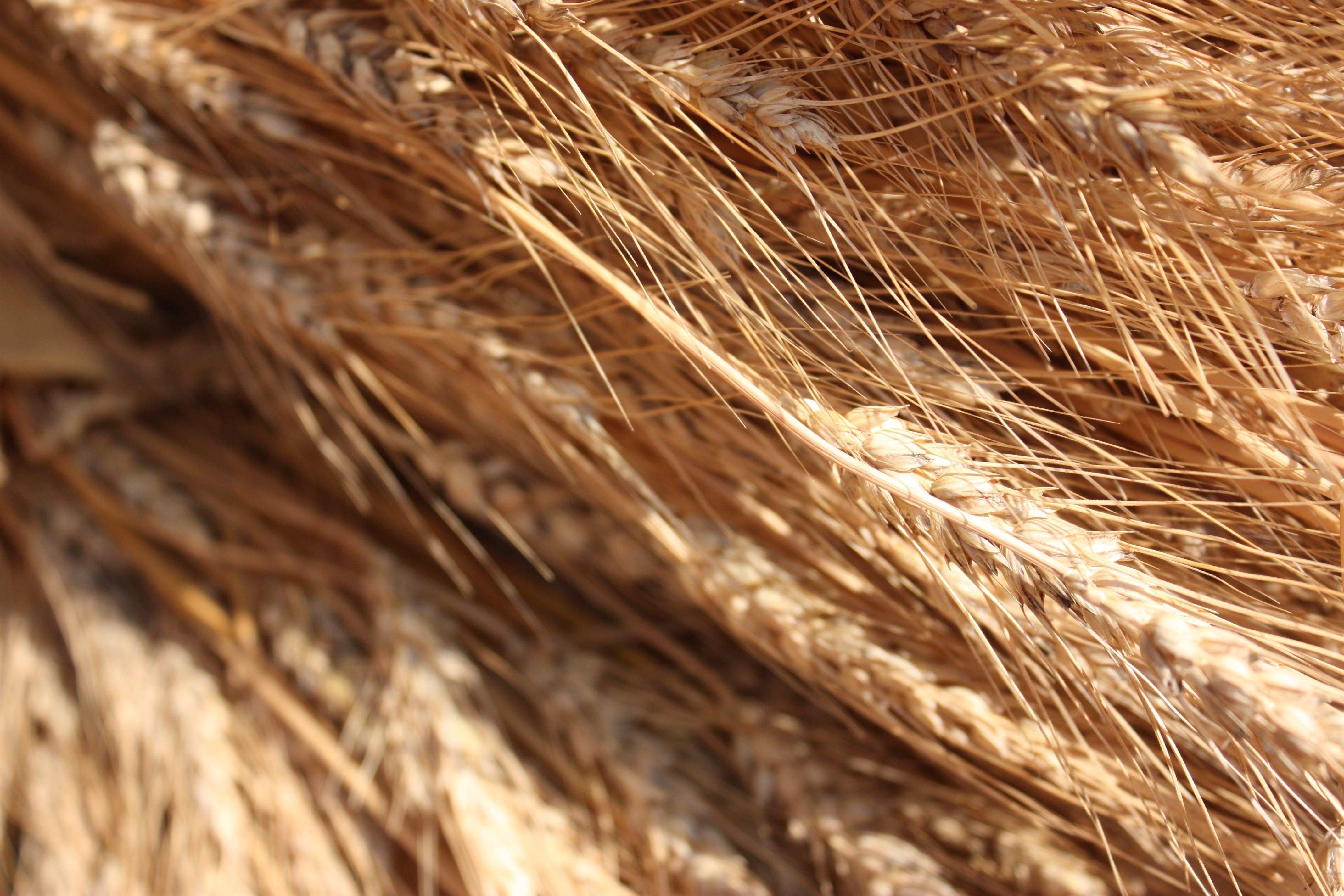 Free stock photo of wheat