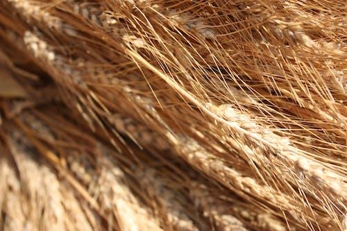 buğday içeren Ücretsiz stok fotoğraf