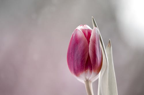 Low angle of delicate blooming tulip with soft pink petals and green leaves against blurred background in sunlight