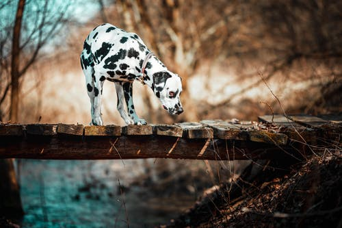 Black and White Dalmatian Dog on Brown Wooden Fence