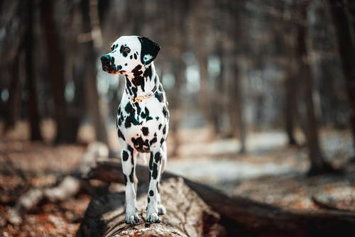 Black and White Dalmatian Puppy on Brown Tree Log