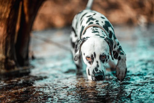 Dalmatian Dog on Water