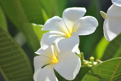 Základová fotografie zdarma na téma bílá, detailní záběr, krásné květiny