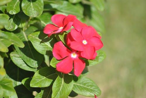 Základová fotografie zdarma na téma červená, krásné květiny, květiny