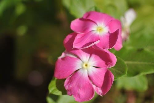 คลังภาพถ่ายฟรี ของ ขาว, ดอกไม้, ดอกไม้สวย, ธรรมชาติ