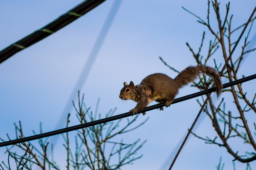 Squirell on a Power Line