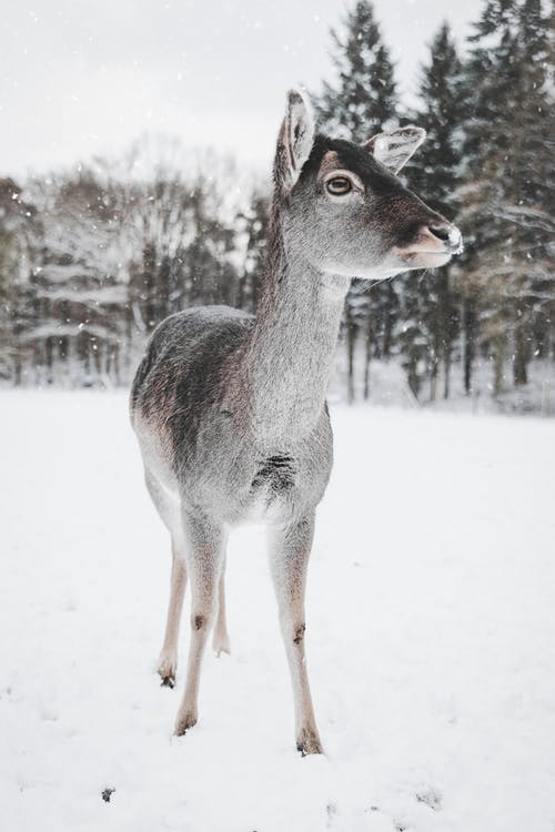 Photo of Deer in the Snow