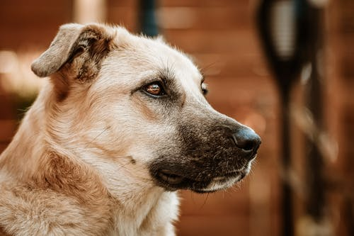 Close-Up Shot of a Brown Dog