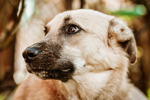 A Brown Dog with a Black Snout