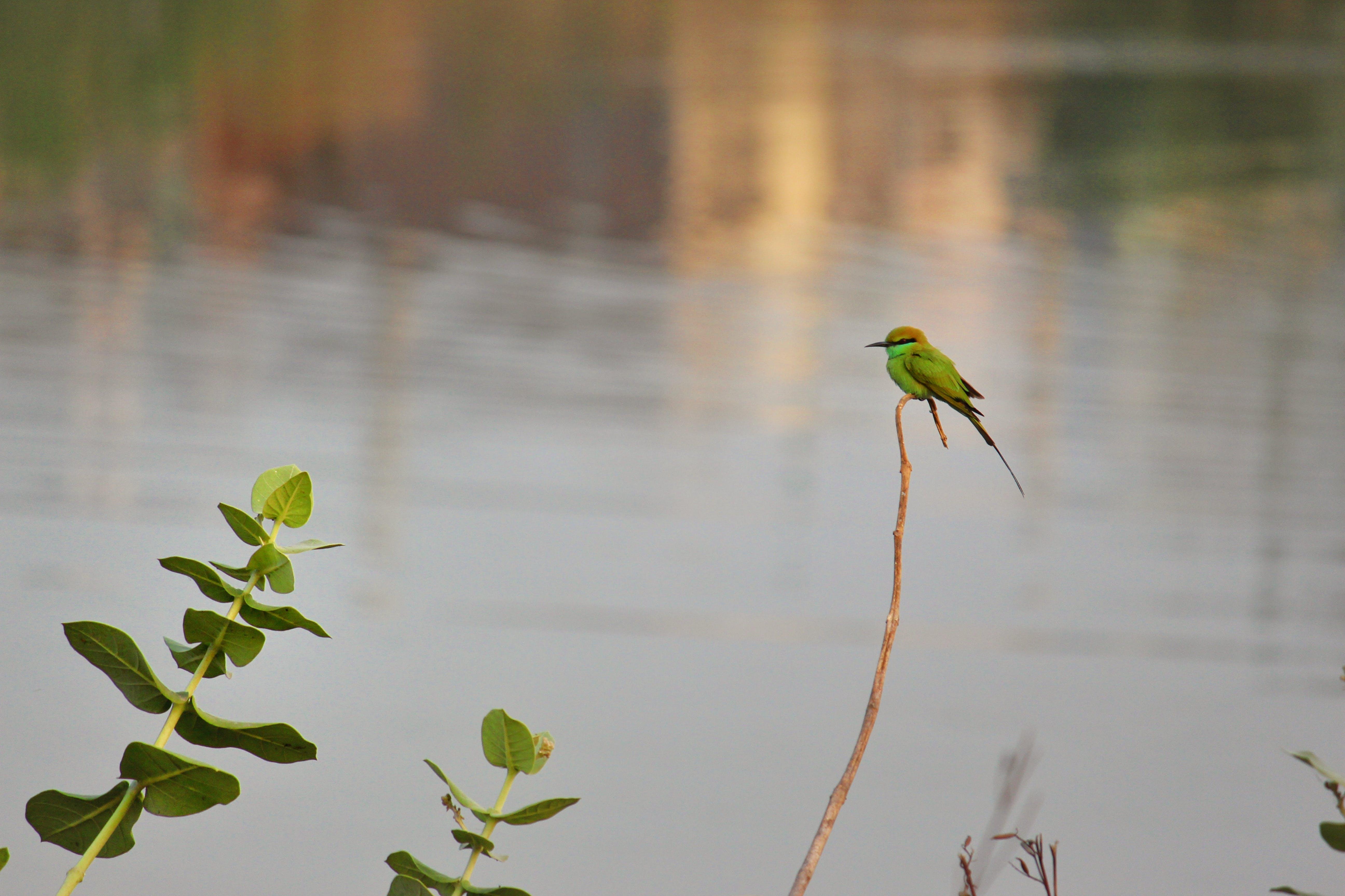 Kostnadsfri bild av grön bea eater