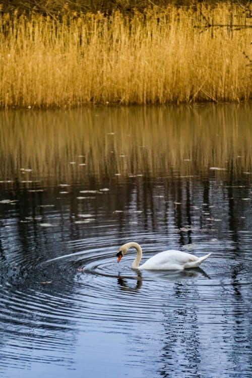 A Swan Swimming on the Pond