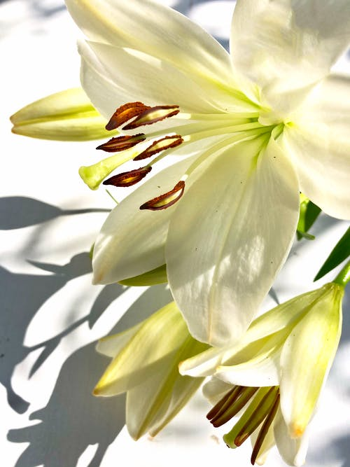 Close-Up Shot of White Lilies in Bloom