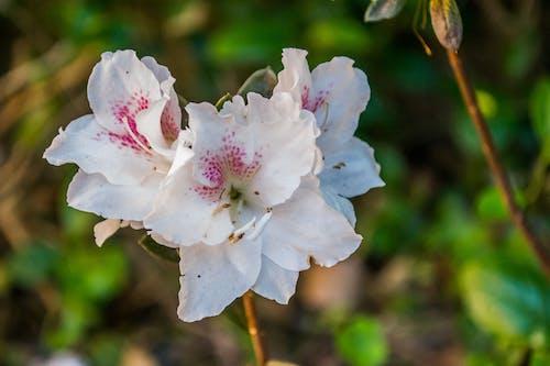 Бесплатное стоковое фото с azalã © и.а., jkakaroto, petalas, белый