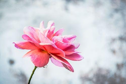꽃이 피는, 꽃잎, 밝은, 분홍색 꽃의 무료 스톡 사진