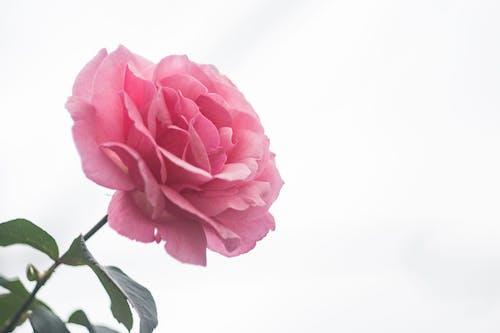 Бесплатное стоковое фото с jkakaroto, джонас какарото, роза, сад