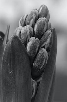 Free stock photo of plant, flower, hyacinth