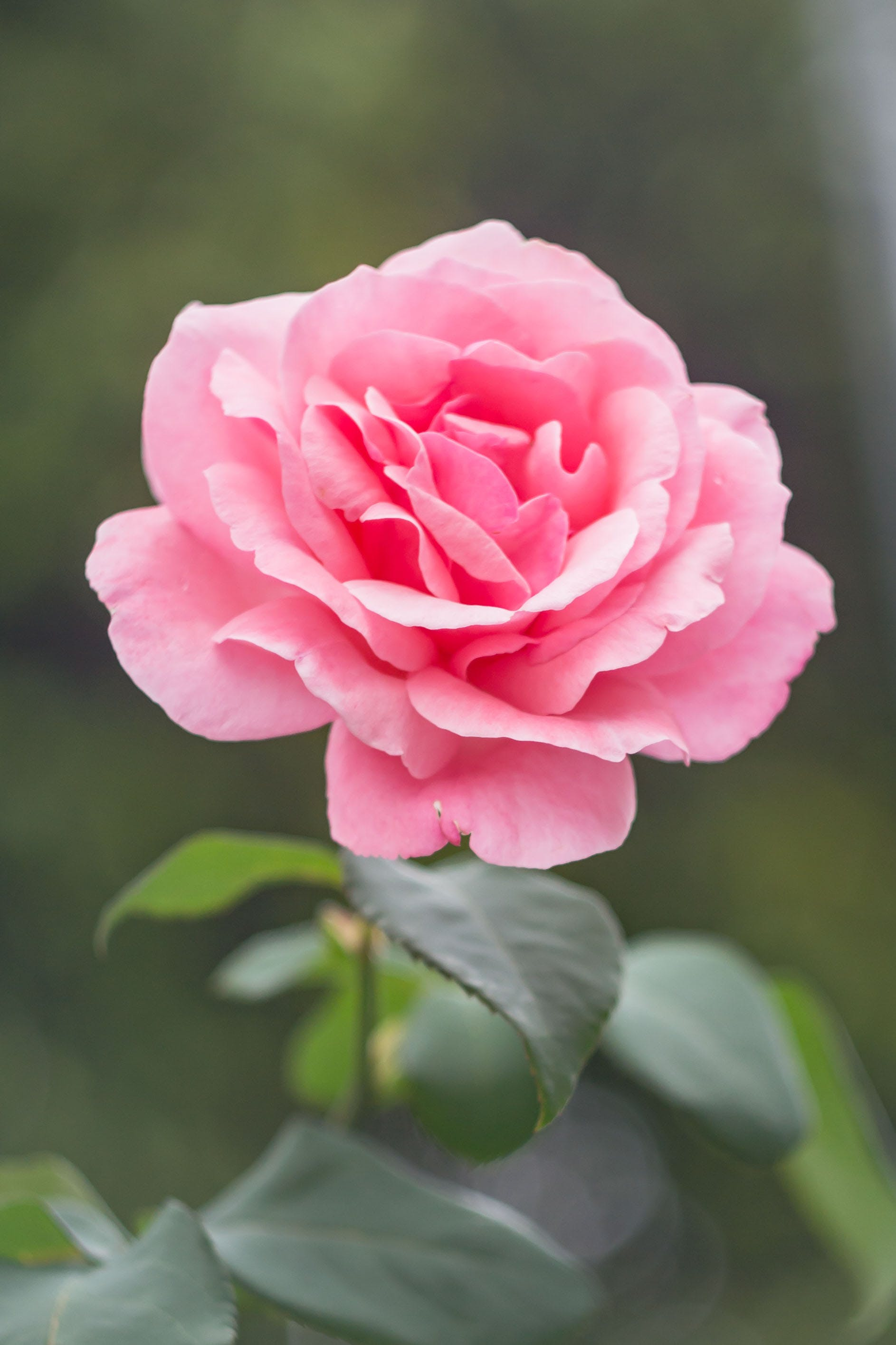 Foto profissional grátis de cor-de-rosa, despertar, flor, jardim