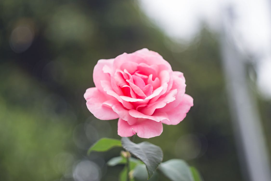 Close-Up Photography of Pink Rose