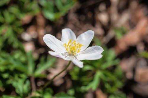 Бесплатное стоковое фото с белый цветок, глубина резкости, завод