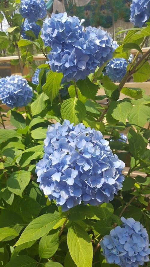 녹색, 보라색, 블루, 수국의 무료 스톡 사진