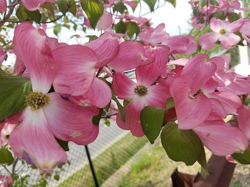 벚꽃의 무료 스톡 사진
