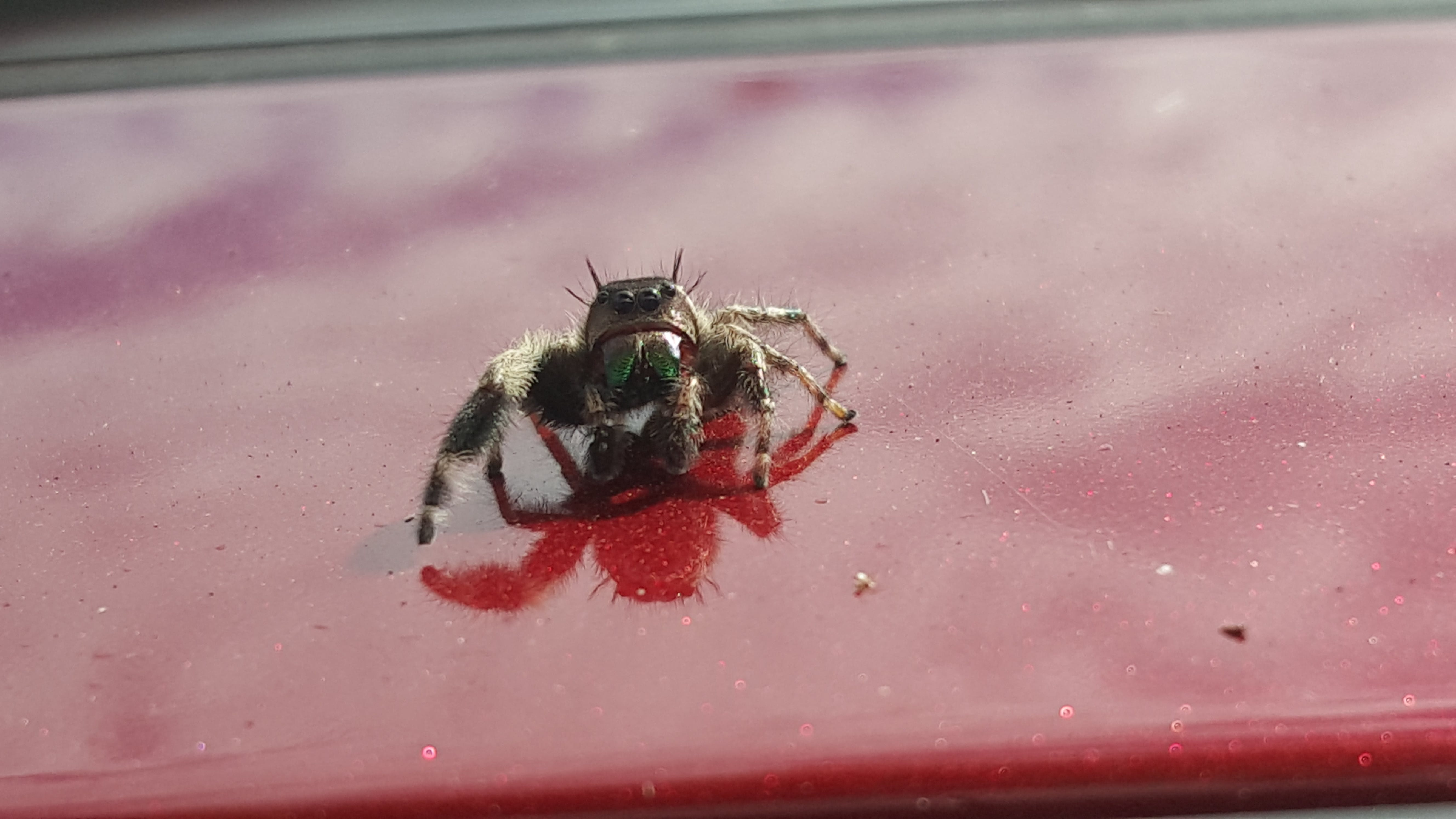 Free stock photo of jumping spider, spider