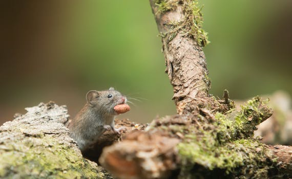 Grey Mouse Carrying Food