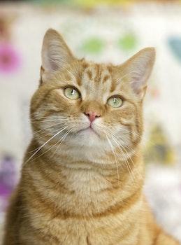 Brown Short Coated Cat