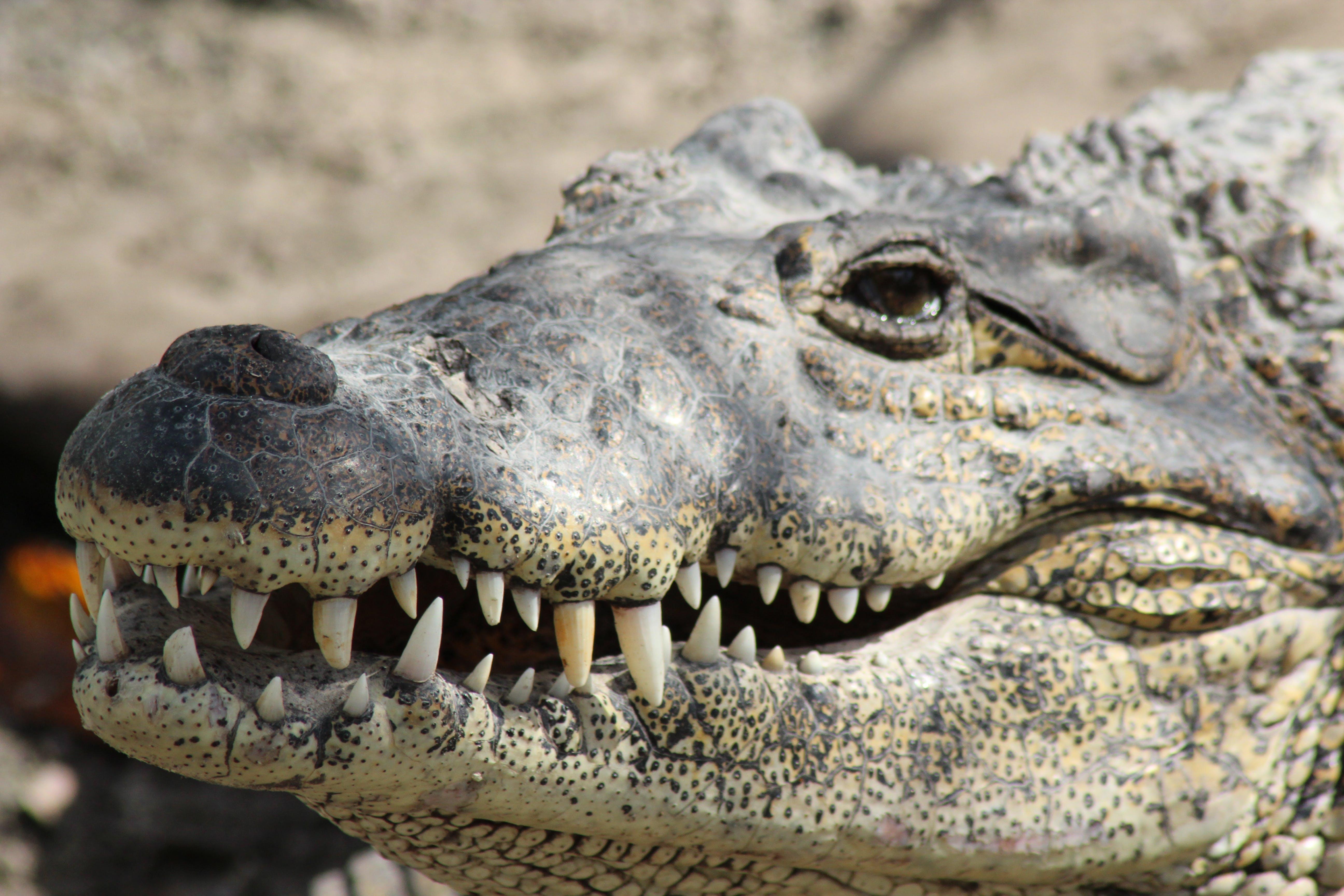 Free stock photo of alligator, animal, blurred background, close-up