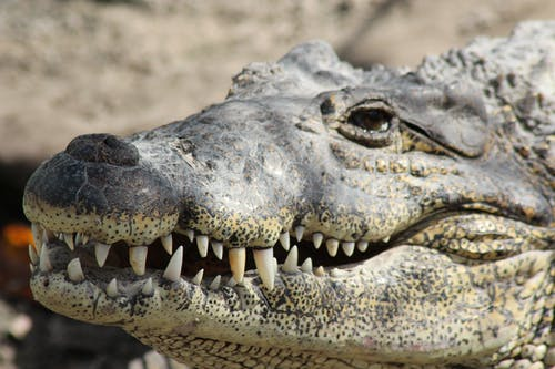 Free stock photo of alligator, animal, close-up, danger