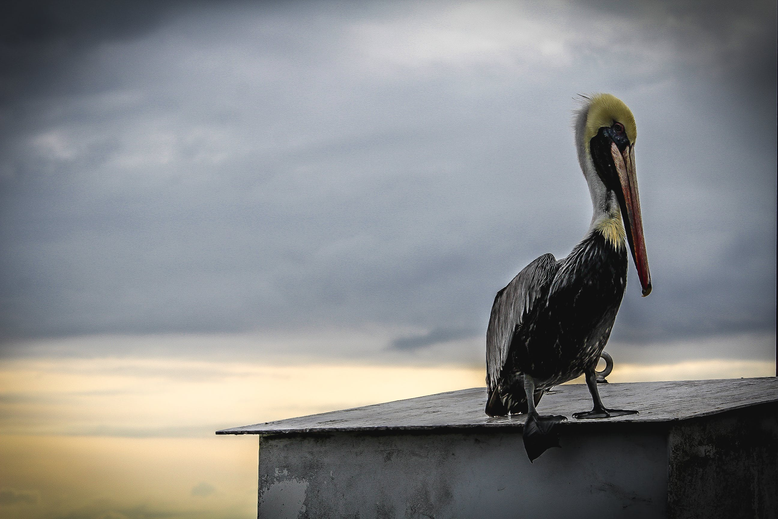 Black Pelican Photo