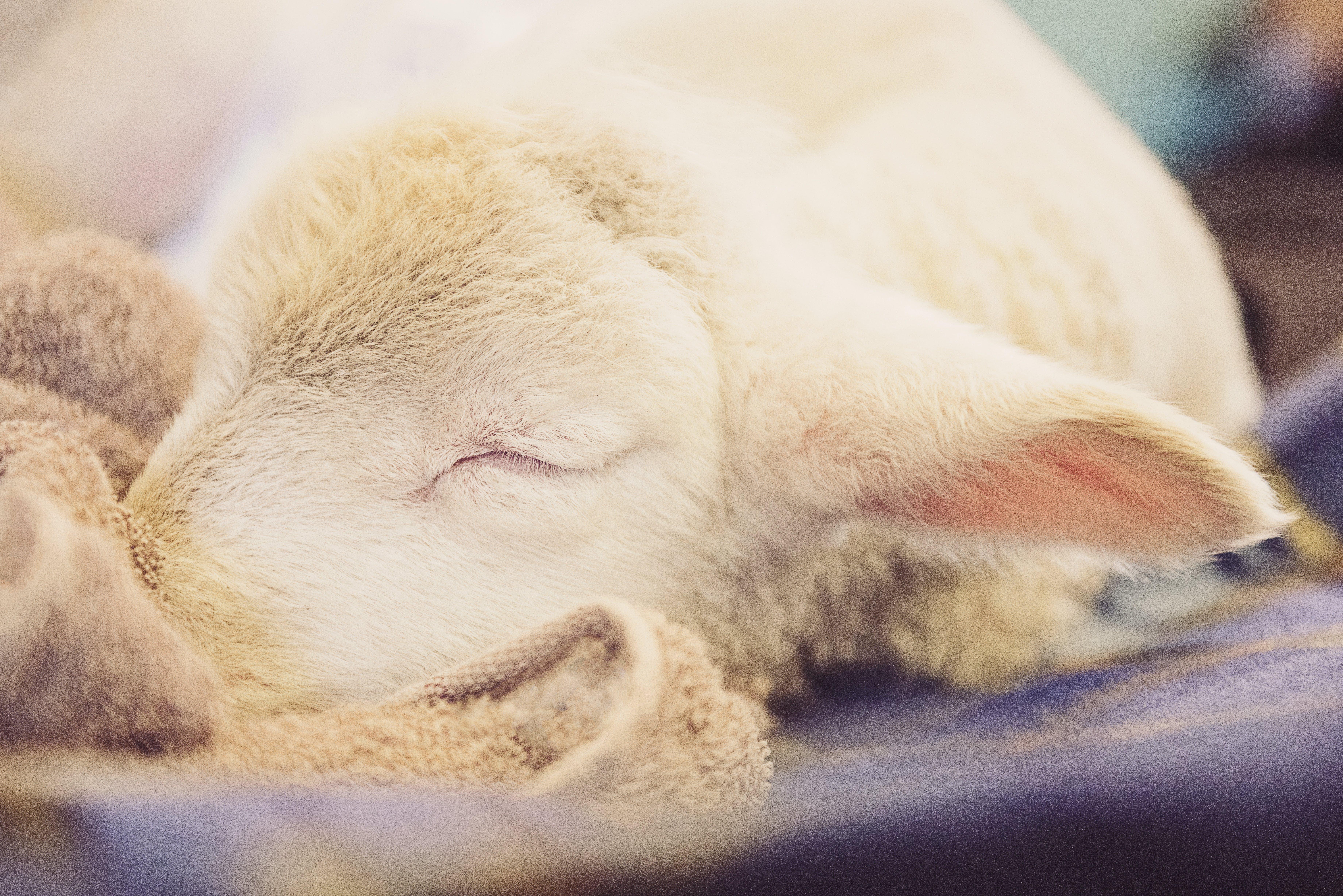 Free stock photo of face, eye, sheep, sleeping