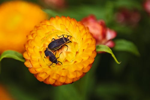 Macro Photography of Two Black Beetles on Orange Flower