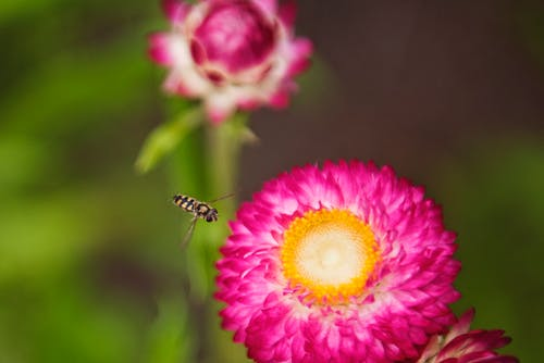 Close-up Photo of Insect Flying Towards the Flower