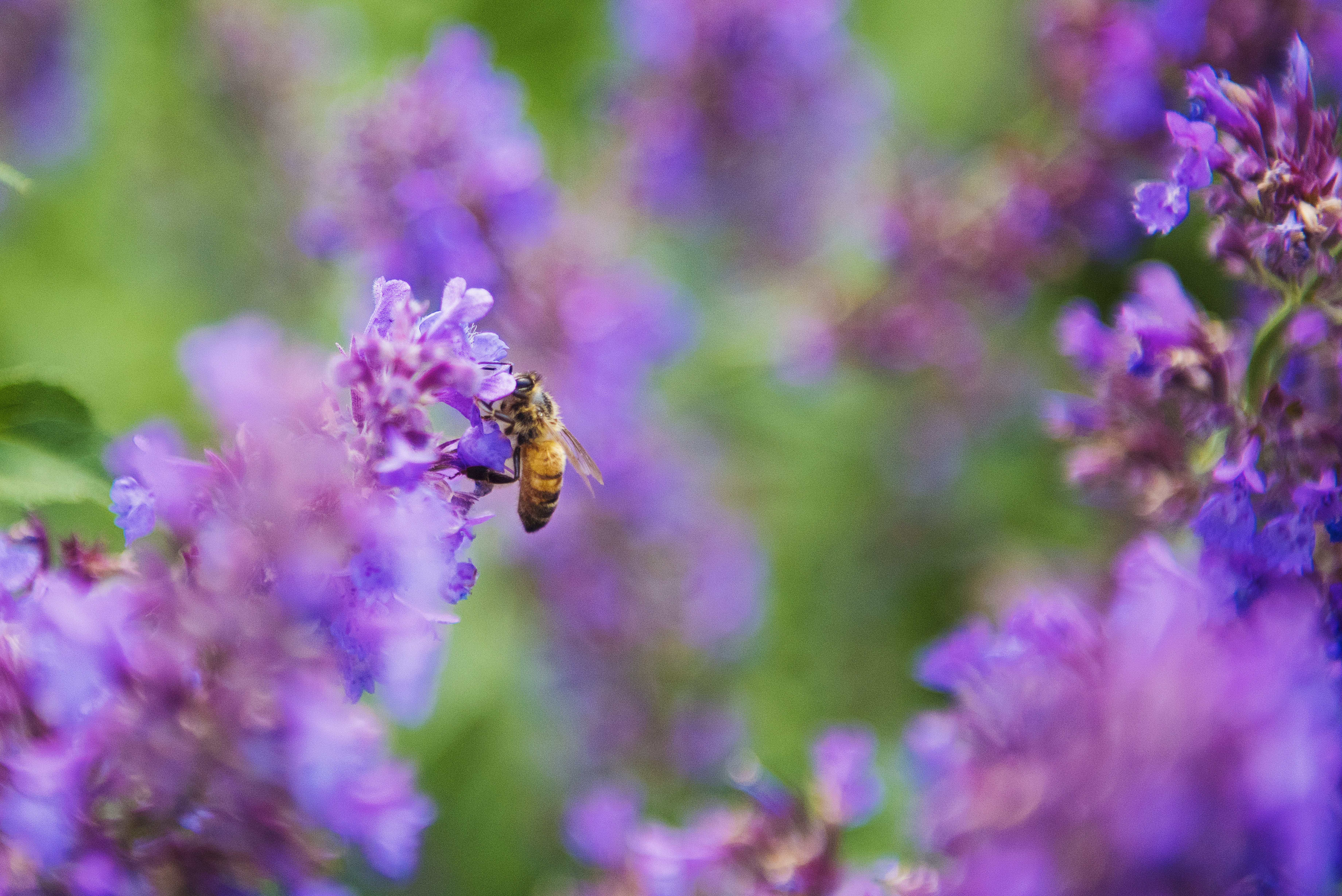 Selective Focus Photography of Honey Bee on Lavender