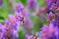 蜜蜂在薰衣草上的選擇性聚焦攝影