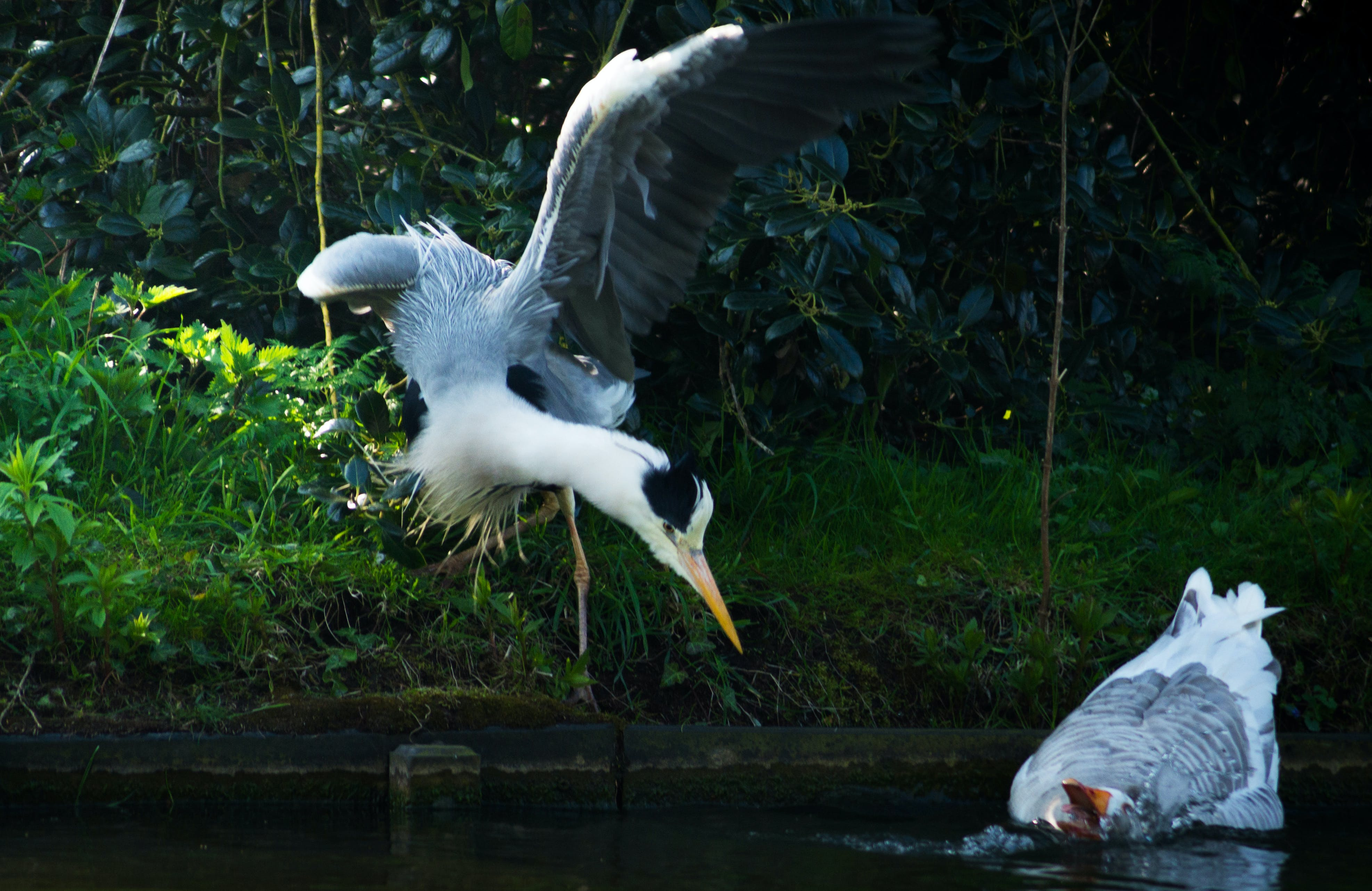 Free stock photo of flight, flying, animals, heron
