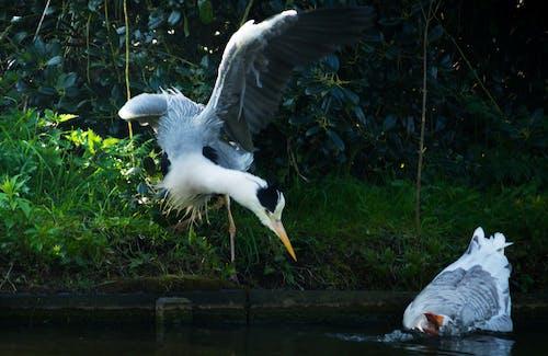 Immagine gratuita di airone, animali, oca, uccelli acquatici