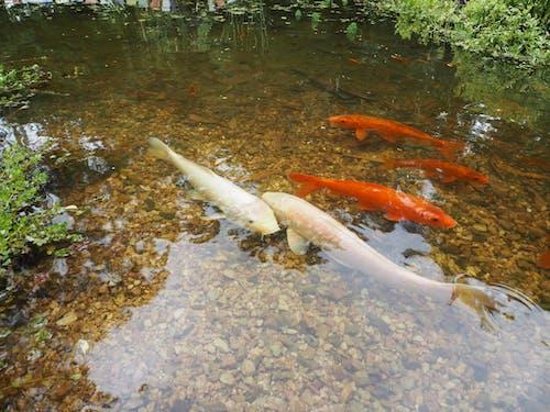 池塘, 澳大利亞, 澳洲 的 免费素材图片