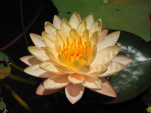 拜仁湾澳大利亚花, 睡蓮, 花 的 免费素材图片
