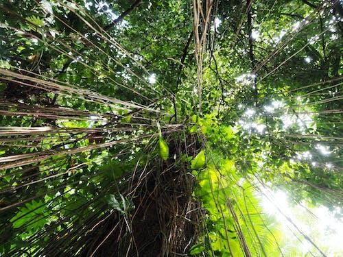 凯恩斯, 天篷, 热带树木 的 免费素材图片