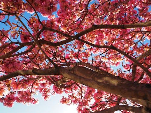 tabebuia树, 樹, 粉紅色的花 的 免费素材图片