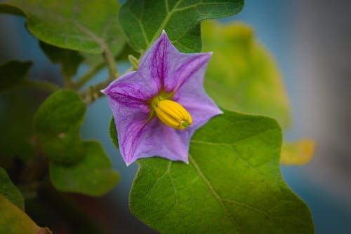 Gratis arkivbilde med blomst, brinjal blomst, eggplant